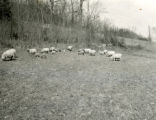 Sheep on oats pasture