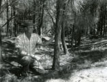 Loblolly pines for erosion control