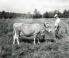 Dairy cow on pasture